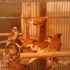 十姉妹13匹   もらってください。鳥籠つき