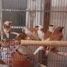 十姉妹13匹   もらってください。鳥籠つき サムネイル3