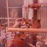 十姉妹13匹   もらってください。鳥籠つき サムネイル4