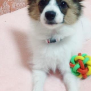 パピヨン 4ヶ月 男の子
