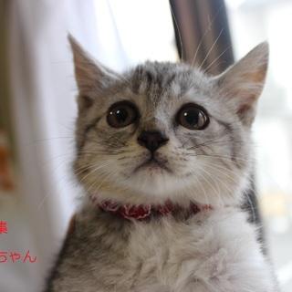 可愛いたれ目のサバトラ仔猫♥ぐらみちゃん里親募集