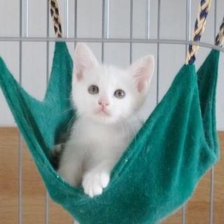募集一時停止中 ふわ白猫のふうろちゃん♪