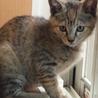 2か月の子猫の里親さん募集 女の子