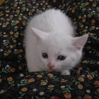 子猫の里親を探しています。