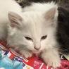 ☆かわいい白猫(長毛) おとなしい女の子☆