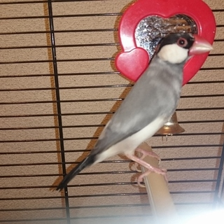 桜文鳥のオス