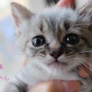 あまあま♥シャム系仔猫ぱふちゃん里親募集