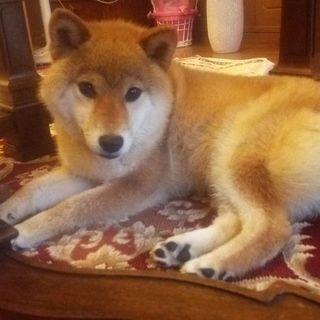 柴犬(1歳未満)飼い主さん募集
