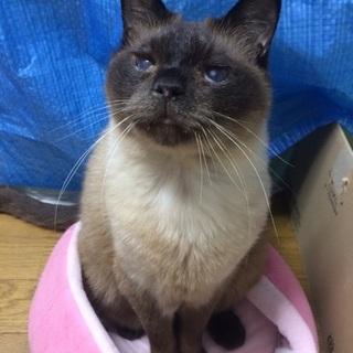 ネグレストから解放されたシャム系猫、チャーコくん