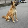 陽気な小型シェパード風ミックス犬