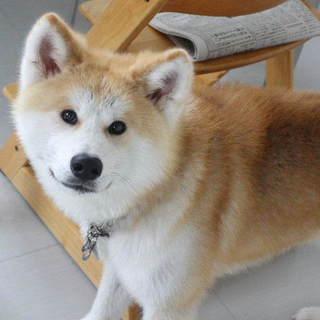 穏やかで優しい秋田犬の男の子文政です。