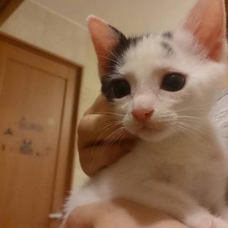 1.5か月 白黒の美猫のメス 4兄妹