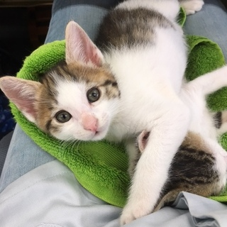 1.5か月 キジ白の美猫 メス