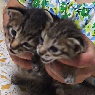 子猫(オス)2匹の里親様募集中です