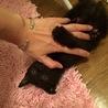 ちょい縞入り 黒猫♀ 生後二ヶ月程