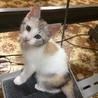 4月21日生まれのパステル三毛猫ちゃん