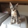 美猫3ヶ月サバトラ手白子猫メス♪なつっこく元気です