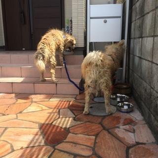 秋田犬 10ヵ月