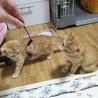 茶トラ仔猫。よく食べよく遊ぶ仲良し姉妹です!