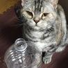 アメショのネコ&三毛のネコ(ΦωΦ)