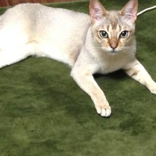 (新規応募受付中止)「希少」知的で大人しい猫です。
