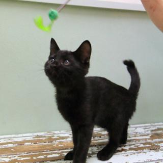 人懐こいジジ柄 黒猫さん♂2016年5月生