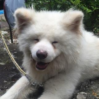 笑顔が可愛い秋田犬のソウタ 若いです。