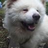 笑顔が可愛い秋田犬のソウタ 若いです。 サムネイル2
