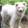 笑顔が可愛い秋田犬のソウタ 若いです。 サムネイル3