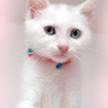 青い目の白猫☆月くん 2ヵ月