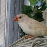 白キンカ鳥4月生まれです