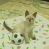 シャムときじとら可愛い子猫です!