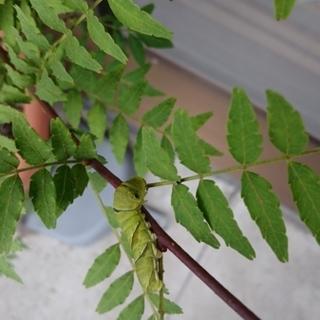 アゲハ蝶の幼虫(緑)