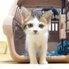 【募集一時停止】人馴れ抜群!優しい性格の癒し猫ルル