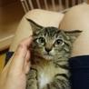 可愛いキジ猫の女の子のすずちゃん