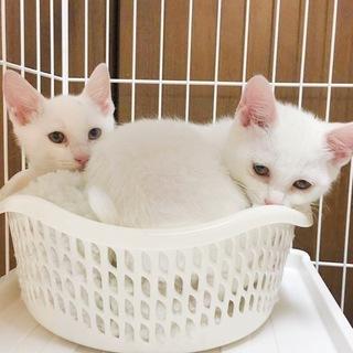 生後2ヶ月半 白い美猫姉妹♪