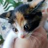 お目目パッチリの美しい三毛猫エミちゃん