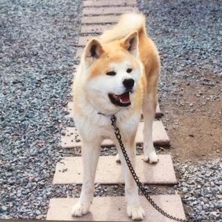 秋田犬(血統書付)の里親さん募集中