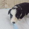 ボーダーコリーの子犬