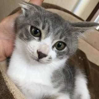 美子猫グレー白のAmazon3000ちゃん!