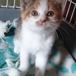 人も猫も大好き三毛子猫ミケコ!
