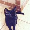 人懐こいジジ柄 黒猫さん♂2016年5月生 サムネイル3