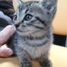 2~3ヶ月のきじとら子猫