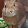 茶色のウサギさん