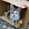 キレイな顔の白サバトラの子猫です‼