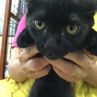 黒ちゃん子猫ヒビキ★男の子★手術済 3か月半