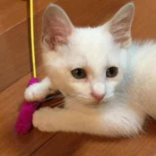 元気いっぱい!甘えん坊の白猫くん