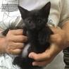 小さな黒猫 1.5ヶ月 ガクトくん