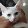 オッドアイの白猫の女の子は馴れなれゴロゴロ!