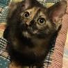 サビ猫おすまし生後2ヶ月女の子♪